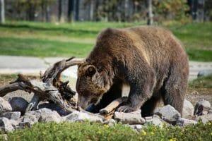 Rencontre avec un Grizzly